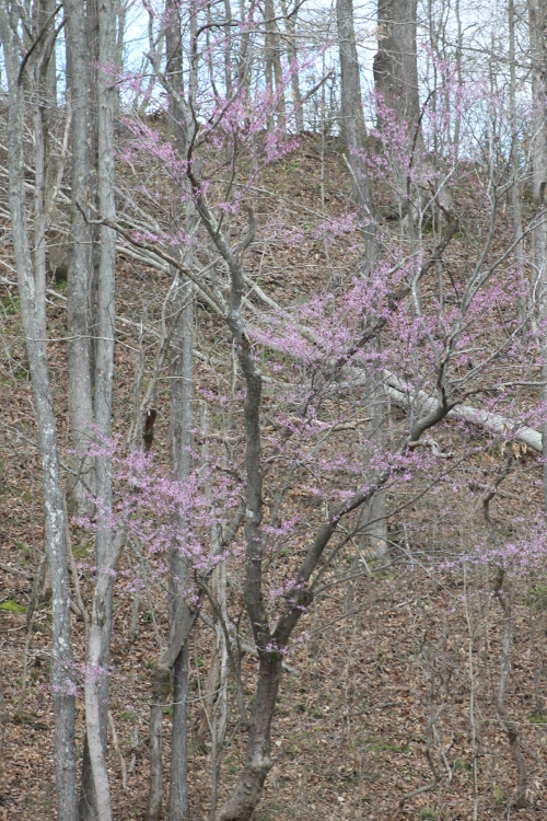 The Start of Redbud Blooms